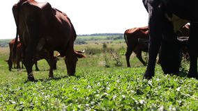 Dairy cows eat grass on summer meadow stock footage