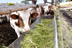 The dairy cows eat silage in a farm. Royalty Free Stock Photo