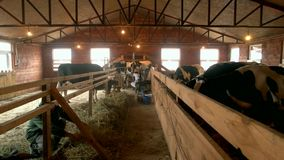 Dairy cows eating hay in barn. Milkmaid milking a cow at farm. Modern farm cowshed with cows eating hay stock footage