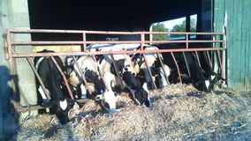 Dairy Cows eating straw in a row royalty free stock images