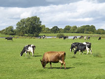 Dairy cows. In farmland Cheshire UK Royalty Free Stock Images