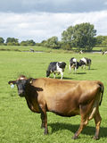 Dairy cows. In farmland Cheshire UK Royalty Free Stock Photography