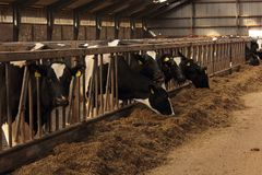 Dairy cows feeding Stock Photography