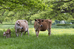 Dairy cows in field with calf Royalty Free Stock Photography
