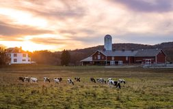 Dairy cows graze on a farm at sunset on a fall evening