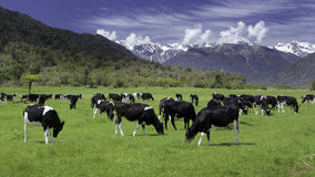 Dairy cows. Grazing in a field with New Zealand mountain in the distance Stock Images