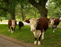 Dairy Cows Grazing in Fields Royalty Free Stock Images