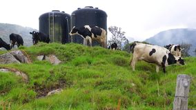 Dairy cows grazing stock video footage