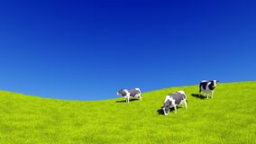 Dairy cows grazing on meadow and copy space. Countryside landscape with mottled dairy cows grazing on green meadow against clear blue sky background with copy Stock Photos