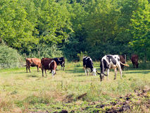 Dairy cows grazing in pasture. Rural scene, Italy. Royalty Free Stock Photo