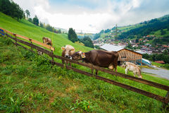 Dairy Cows Stock Photography