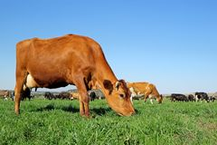 Dairy cows on green pasture stock photos