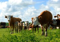 Dairy Cows in a Herd Royalty Free Stock Images