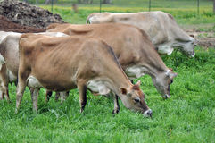 Dairy Cows Stock Images