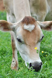 Dairy Cows Royalty Free Stock Photo