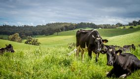 Dairy cows in lush green paddock stock photography