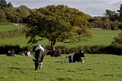 Dairy cows in a meadow. Wirral, England royalty free stock photos