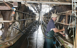 Dairy cows. Milking cows in a dairy from near   Maffra in country Victoria, Australia Stock Images