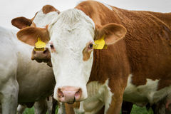 Dairy cows in pasture Stock Photos