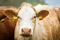 Dairy cows in pasture Royalty Free Stock Photos