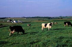 Dairy Cows   23381