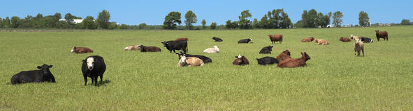Dairy Cows Pasture Field Banner Panorama Panoramic Royalty Free Stock Photos