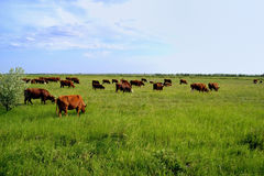 Dairy Cows in Pasture. Vibrant colors. Royalty Free Stock Image
