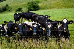 Dairy Cows by Barbed Wire Fence Stock Image