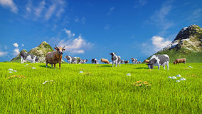 Dairy cows on spring alpine meadow. Herd of dairy cows graze on a spring alpine meadow with mountains and blue sky on the background. Low angle view. Realistic Stock Photo