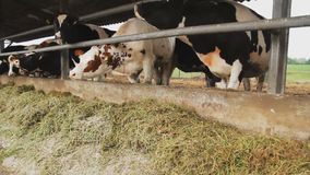 Dairy cows in the stable. Cows chew the grass on the farm