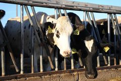 Dairy cows in a stable on a farm Royalty Free Stock Image