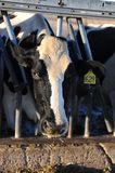 Dairy cows in a stable on a farm Royalty Free Stock Photography