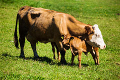 Dairy cows on summer pasture. Dairy cows on the summer pasture, symbol photo for milk production and organic farming Royalty Free Stock Image