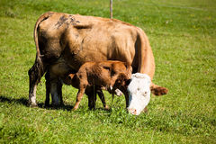 Dairy cows on summer pasture. Symbolic photo for milk production and organic farming Royalty Free Stock Photos