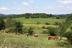 Dairy Cows in Sumava Landscape, National Park, Czech republic, Europe Stock Photography