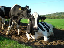Dairy Cows in Vermont. Shot of two of Vermont's finest dairy cows Royalty Free Stock Photo