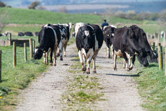Dairy cows walking down a field path Royalty Free Stock Photos