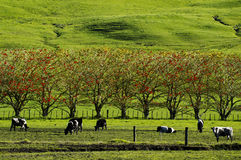Dairy Farm. Cows in a field of a Dairy Farm during the spring season in New Zealand Royalty Free Stock Photo