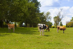 Dairy Farm Royalty Free Stock Photography
