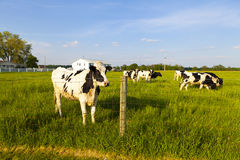 Dairy Farm Stock Images