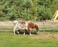 Dairy farm. Cow in corral Stock Photos