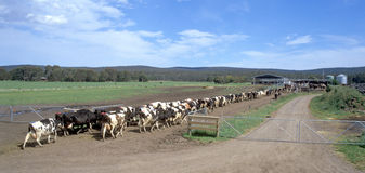 Dairy farm. Dairy farm, cows coming in for milking near Yarram East Gippsland, Victoria, Australia stock photos