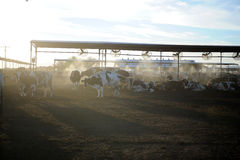 Dairy Farm Cows Feeding At Sunset Royalty Free Stock Photography