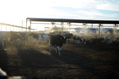 Dairy Farm Cows Feeding At Sunset Royalty Free Stock Images