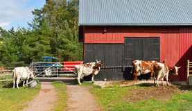 Dairy farm. Cows go to barn at milking Royalty Free Stock Images