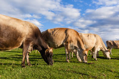Dairy Farm Cows Royalty Free Stock Images