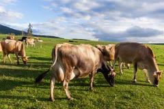 Dairy Farm Cows Landscape Stock Image