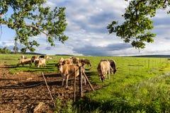 Dairy Farm Cows Landscape Stock Photos