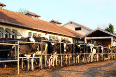 Dairy Farm and Milking Cows. Cows waiting to be milked in milking shed on farm Stock Photos