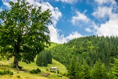 Dairy farm in the mountains. Dairy farm in the Carpathian Mountains, Ukraine. Rural wooden building in fenced property, big old oak and fir forest on the hills royalty free stock photography